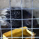 porcupine in cramped cage looking terrified