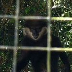 purple faced leaf monkey locked in small cage. is his how th