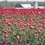 Tulip Fields and Red Barn