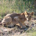 Lionbaby
