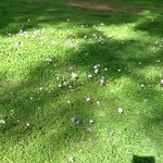 Wild anemones, in the rough,Verde golf course, february