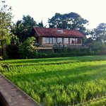 Rice field view