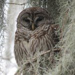 This is my favorite picture - Barred Owl