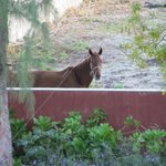 Queenie the horse looking over the back wall