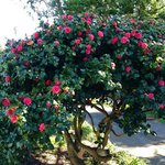 Our Camellia in full bloom