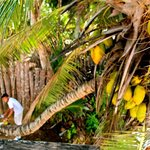 One of the lovely staff grabbing coconuts for us!