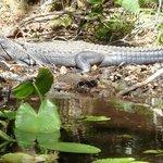 Another big alligator