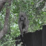 On the Boma fence