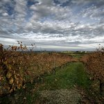 Agriturismo Montalbino - The vineyards