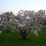 Arbre à fleur sur l'esplanade de Montbenon