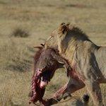 Fresh warthog