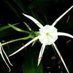 Beach Spider Lilies - in the May garden