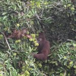 Mother and Baby Orangutan Danum Valley