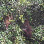 Mum and Bub Orangutan Danum Valley