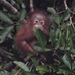 Baby Orangutan Danum Valley