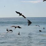 Lots of pelicans on the ocean