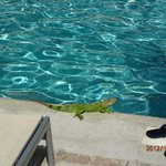 Iguana by the sports pool