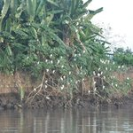 egret roost on rio tarcoles
