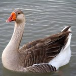 One of the geese that will attack you, beware !
