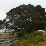Pohutakawa are NZ's summer Christmas trees