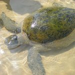 Sea Turtles in the shallow waters of the beach