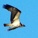 Sea Hawk with Fish