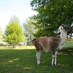 Newpark Wildlife Farm - Lama