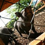 Newpark Wildlife Farm - Pot bellied pig