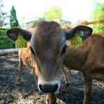 Newpark Wildlife Farm - Calves