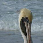 Percy Pelican