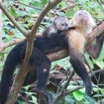 Friendly Capuchins