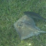 Sting Ray in the harbor