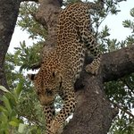 Leopard out on safari