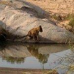 Lion Cub out on safari