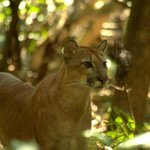 Puma in the forest close to Sirena Biological Station