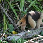 Tamandua (collared anteater) Corcovado National Park