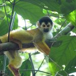 Squirrel Monkey Corcovado National Park