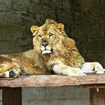 Scar, the Lion