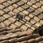 Rome Trastevere a cat on the roof
