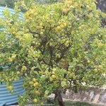 organic lemon tree at the back