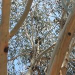 Koala outside our unit
