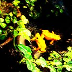 Yellow frogs!