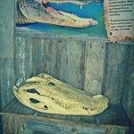 Alligator skull.