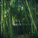 Some bamboo along the Bamboo Trail!