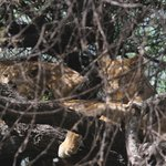 Lake Manyara's Famous Tree-Climbing Lions