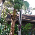 banana tree on path to cabins