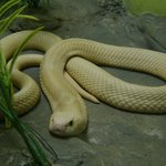 Poisonous snake found in Thailand- don't worry he is in a glass cage!