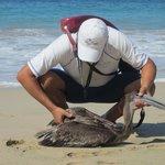 Las Brisas Lifeguard helping an injured gull