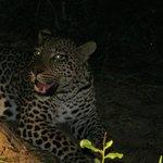 Leopard near Kirkman's Kamp