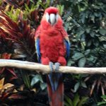 Resident Scarlet Macaw